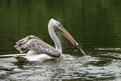 Pelican in a lake Stock Photography