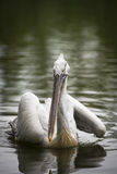 Pelican in a lake Stock Image