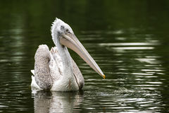 Pelican in a lake Stock Images