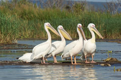 Pelican, Lake Chamo, Ethiopia, Africa Royalty Free Stock Photo