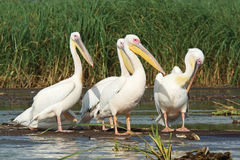 Pelican, Lake Chamo, Ethiopia, Africa Stock Image