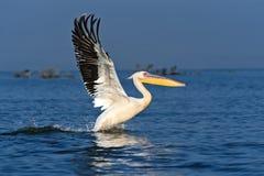 Pelican on the lake Naivasha Royalty Free Stock Photography
