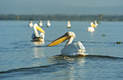 Pelican on the lake Naivasha Royalty Free Stock Photo