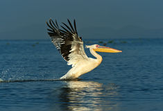 Pelican on the lake Naivasha Stock Image