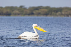 Pelican at Lake Naivasha, Kenya Royalty Free Stock Image
