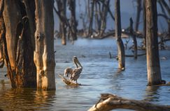 Pelican on the lake Nakuru. Pelican sitting on a dry branch Kenya. National Park Nakuru stock photo