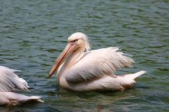Pelican on the lake Stock Photos