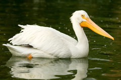 Pelican in a lake Royalty Free Stock Photo