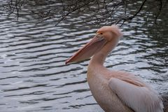 Colourful pelican by the lake in St James`s Park, London UK. stock photography