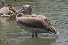 Pelican in the lake. Pelican with the sunshine Royalty Free Stock Image