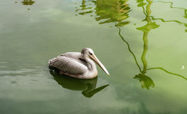 The pelican in lake in Zoo Royalty Free Stock Image