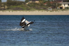 Pelican landing Royalty Free Stock Photography