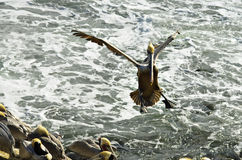 Pelican Landing. Brown pelican in colorful feathers of winter breeding plumage landing with feet and wings stretched on the windy cliffs of the tourist Stock Images