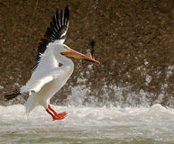 Pelican landing. American White Pelican landing in rough water stock image