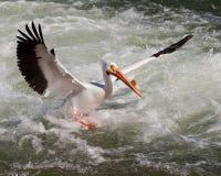 Pelican landing. American White Pelican landing in rough water Royalty Free Stock Images