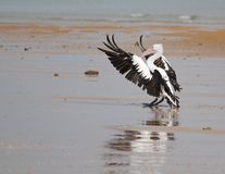 Pelican landing. A pelican begins to close its wings after landing Royalty Free Stock Image