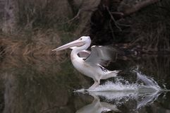 Pelican landing Royalty Free Stock Image