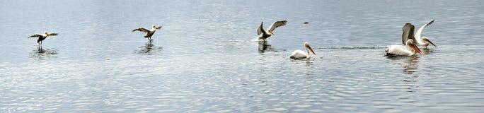 Pelican landing in frames Stock Photos