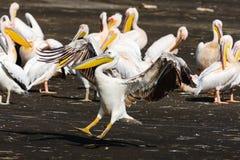 Pelican landing. Kenya Royalty Free Stock Photography