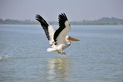 Pelican landing on lake Stock Images
