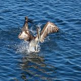 Pelican landing on water Stock Photos