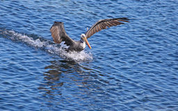Pelican landing on water Stock Photo