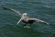 Pelican landing on water Royalty Free Stock Image