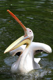 Pelican Royalty Free Stock Photo