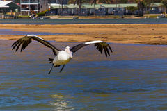 Pelican landing on water Royalty Free Stock Images