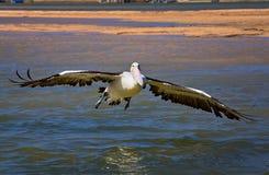 Pelican landing on water Stock Photo