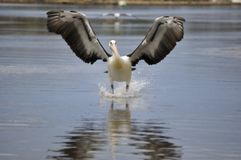 Pelican landing on water front on Stock Photos