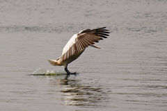 Pelican landing on water. The grey pelican touchdown moment is captured in this picture. The wings are raised to offer resistance to air which slows down the Stock Photo