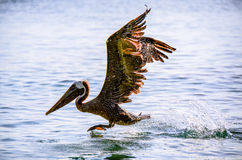 Pelican landing on water. Large pelican landing on the water with wings spread Stock Photos