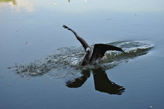 Pelican landing. A pelican landing on the water of a pond in Jamaica stock photo