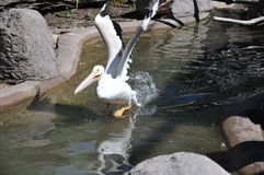 Pelican. Landing in the water at the zoo Royalty Free Stock Photos