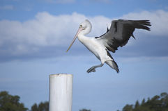 Pelican landing on a wharf post Royalty Free Stock Photo
