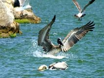 Pelican. Landing wings Stock Photography