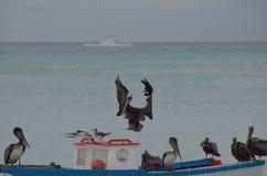 Pelican Landing on a Wooden Fishing Boat in Aruba Royalty Free Stock Photos