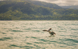 Pelican Landingq. A Pelican lands in the turqoise waters off the Costa Rican coast Stock Photo