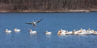 Pelican Lands into Swinning Flock. As it is about to crash land into a swimming flock of pelican, a flying pelican tries to change course before it lands. One royalty free stock image