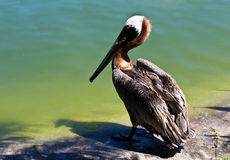 Pelican a large water bird of the Pelecanidae family Royalty Free Stock Photography