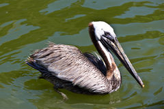 Pelican a large water bird of the Pelecanidae family Royalty Free Stock Photos