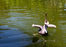 Pelican a large water bird of the Pelecanidae family Royalty Free Stock Image