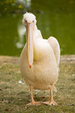 Pelican large waterfowl. With pink feathers Royalty Free Stock Photography