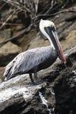A Pelican on lava rock Royalty Free Stock Photos