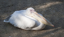 Pelican laying in the sand Stock Images