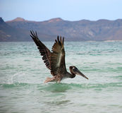 Pelican Lifting Off in Flight. Pelican spreading its wings and taking off from the water against an island backdrop Royalty Free Stock Images
