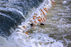 Pelican Lineup Royalty Free Stock Photo
