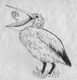 Pelican and fish. Pelican and little fish trying to escape it's beak. Pencil drawing, sketch Stock Photography
