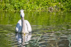 Pelican with a long beak floats on water forward Stock Images